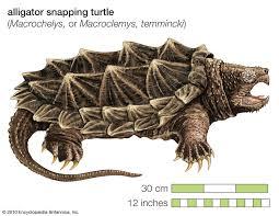 Tartaruga Aligator Macrochelys Temminckii Tartaruga Jacaré