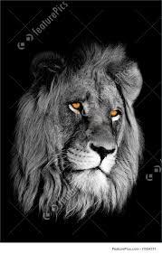 black and white lion portrait. Beautiful Black Wildlife Blackandwhite Portrait Of An African Lion Panthera Leo And Black White Lion Portrait K