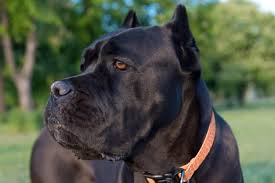 Cane Corso Weight Chart Pounds 6 Best Cane Corso Dog Foods Plus Top Brands For Puppies