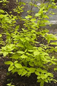 garden glow dogwood 2016 note nice color doubling in size withstanding deer stress well