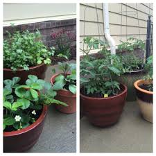 epsom salt gardening. Tomatoes, Strawberries And Cilantro Epsom Salt Gardening I