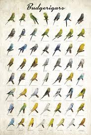 Budgerigar Colors Poster Budgerigar Parakeet Pet Birds