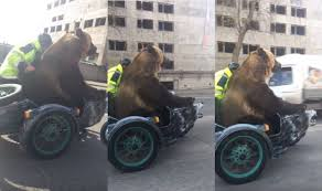 just a bear taking a ride in a motorcycle sidecar