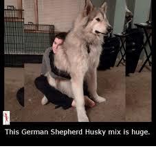 german shepherd husky mix full grown. Fine German German Shepherd Husky Mix And Full Grown I
