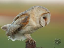 Owl Identification What Owl Was That The Barn Owl Trust