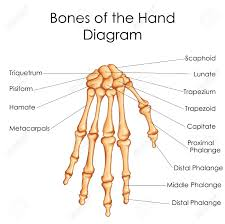 Medical Education Chart Of Biology For Bones Of Hand Diagram