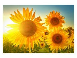 Sommer Sonne Und Strahlende Blüten Sonnenblumen Bild