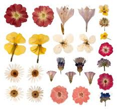Flower Pressed Paper Beginners Guide To Pressing Flowers How Does Your Garden