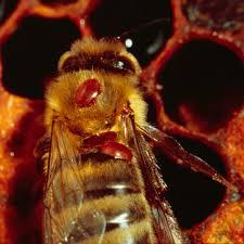 Varroa Mites Leading Culprit Of Honey Bee Losses Hitchhike