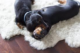 by doxie dogs on a rug
