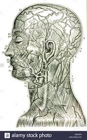 arteries of the face illustration superficial arteries veins head neck stock photo