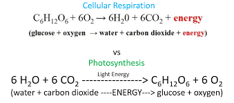 connecting cellular respiration and photosynthesis read life slideshare plant respiration from cell to ecosystem advances in