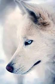 white wolf pup with blue eyes. Modren White White Wolf With Blue Eyes In Wolf Pup With Blue Eyes