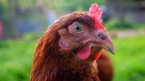 7 Best Chicken Tips For First Time Chicken Owners  Buy Chickens How To Keep Backyard Chickens