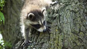 <b>Raccoon</b> Nation | <b>Raccoon</b> Facts | Nature | PBS