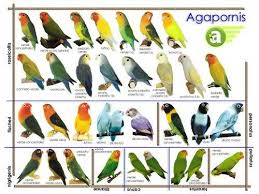 Lovebird Color Mutations Chart African Lovebirds Mutations All About African Lovebirds
