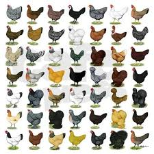 Different Types Of Chickens Chart Chicken Breeds Chart Chicken Breeds Chart 49 Hen Breeds