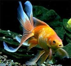 Fantail Goldfish Growth Chart Fantail Goldfish Fancy Goldfish Show Goldfish Information