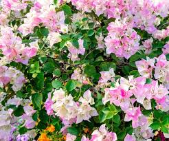 bougainvillea imperial delight imperial delight bougainvillea bougainvillea imperial thai delight pink
