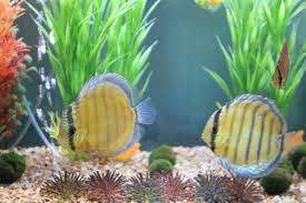Heckel Discus Fish For Sale