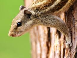 how to keep chipmunks out of garden. Simple How Chipmunk On Tree In How To Keep Chipmunks Out Of Garden C
