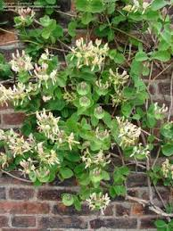 Climbers For Every Occasion Part 1 Spring And Early Summer Climbing Plant For Shade