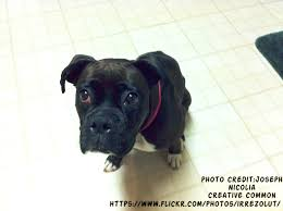 black and white pitbull boxer puppies. Interesting Black Black Boxer Puppies And White Pitbull L