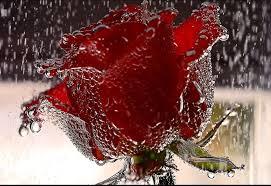beautiful rose flower wallpaper hd