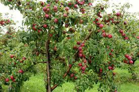 fruit trees wallpapers. Plain Trees Apple Tree Wallpapers  Wallpaper Cave With Fruit Trees