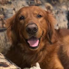 red golden retriever. Brilliant Red Red Golden Retriever Puppies Born On September 9th 2018 Puppies Ready  For Their Forever Homes In November 2018 AKC Limited Registration 250000 And D