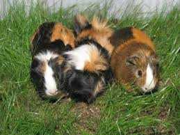 guinea pig care a beginner s guide on