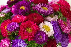 Картинки по запросу фото гарних хризантем