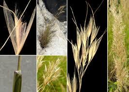 Achnatherum calamagrostis (L.) P.Beauv. - Sistema informativo sulla ...
