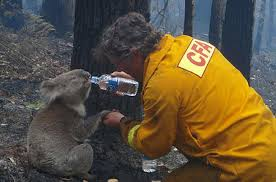 rescues its koalas photo essays time koala bushfire