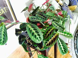 Learning how to grow a prayer plant is easy and its rewards well worth any  issues you may come across along the way.