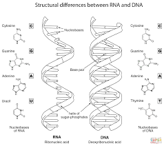 Structural differences between rna and dna coloring page free rh supercoloring dna coloring activity worksheet dna coloring activity worksheet