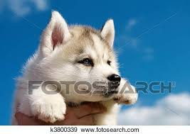 cute dogs and puppies husky.  Husky One Little Cute Puppy Of Siberian Husky Dog Outdoors In Cute Dogs And Puppies Husky