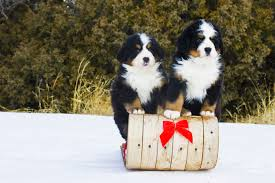 white bernese mountain dog. Fine Mountain Bernese Mountain Dogs And Puppies White Dog