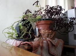 sweet potato houseplant.  Potato Your Plant Is Called An Ornamental Sweet Potato Plant Ipomoea Butatas Intended Houseplant I