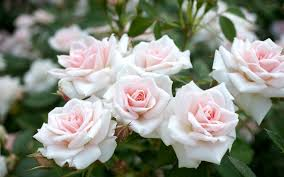 Image result for images of rose white hd