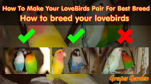 How To Make Your Lovebirds Pair For Best Breed How To Breed Your Lovebirds