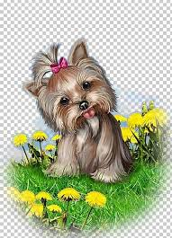 yorkshire terrier morkie puppy dog breed biewer terrier png clipart s biewer terrier breed carnivoran