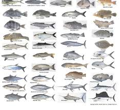 Nc Saltwater Fish Identification Chart Saltwater Fish Identification 13x18posterjpg 2017 Fish