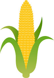 ear of corn clipart. Delighful Corn Banner Download Ear Yellow Free Clip Art Harvest Vector To Of Corn Clipart