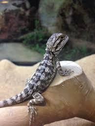 baby bearded dragons pogona vitticeps