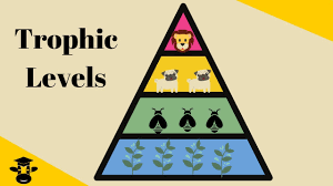 Ecosystem Pyramid Chart Trophic Level Pyramid