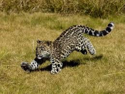 baby jaguar wallpaper. Beautiful Jaguar Baby Jaguar Inside Wallpaper L