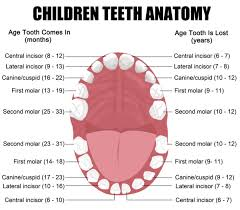 Which Baby Teeth Fall Out Chart Baby Teeth Are The First Set Of Teeth That Becomes Visible