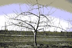 Pruning Fruit TreesDormant Fruit Trees