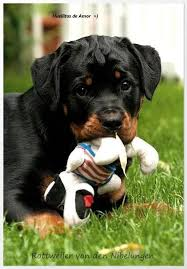 rottweiler dog baby. rottie pup with toy rottweiler dog baby a